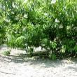 畑の桃に、かけ袋を