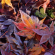 「儚きジュエリー」 いわき 夏井川渓谷にて撮影! 落ち葉に霜