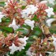 蜂の様なオオスカシバ