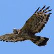 2017.10.19(木)の日誌(秋の鷹渡り#17-05-04:ハチクマの飛翔)