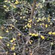 蝋梅が咲いた