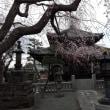 「本覚寺」の垂れ桜