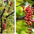 ≪イイギリ・飯桐≫の赤い実