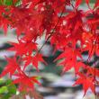蓮池端の紅葉
