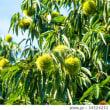 剪定のしすぎの栗の木に実がつかない話