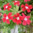 バーベナの花は