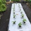 葉物野菜は順調に生長中?