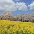 180405 赤城南面千本桜菜の花コラボ 君の名は雲バージョン
