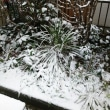 昨日 雪    今日   白梅