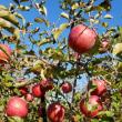 りんごと言えばとっても美味しいふじ