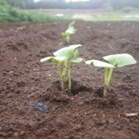 白菜にダイコンサルハムシ、葱土寄せ
