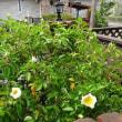 ブータンナニワイバラ開花