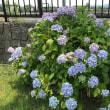 南郷公園の紫陽花