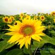 向日葵~ほしのふる里 開陽の丘~