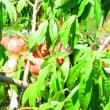 我が家の完熟桃