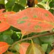 柿の葉の紅葉すすむ