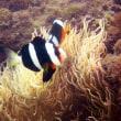 ツバメウオの幼魚!