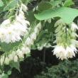 白雲木(はくうんぼく)