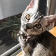 猫ʚ❤︎ɞショコラちゃん