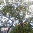果樹の実など
