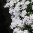 珍しい白いマツバギクが飫肥城下町には似合います。 (Photo No.14310)