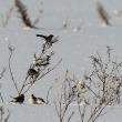 今日の鳥 ユキホオジロ 今季は諦めて居ましたが 情報が有り撮影出来ました,感謝です。