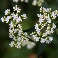 mm級の花をつけたイヌタデ