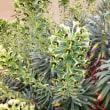 ユーフォルビア・ブラックパール Euphorbia Black Pearl