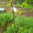 庭のサクランボの花