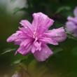 ムクゲ (花 4550)
