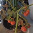 1月のドワーフトマト