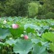 万博記念公園・日本庭園のはす池♪