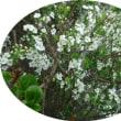 春だから ミモザが咲いて~「ミモザサラダ」を作りました♪