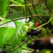 クロタキカズラ:黒滝蔓(赤い実で目立つ)