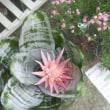 エクメア ファスキアタ、秋桜、ピンクのミニバラ