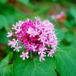 ピンクの花(赤塚植物園)