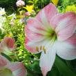 ユリの花色々