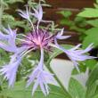 セントーレア・モンタナの花は