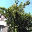 花後のヤマボウシ ホンコンエンシス