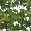 ユリの木咲く