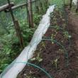 キャベツ苗補植