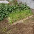 11/20(月) 北の果てから届いた、玉ねぎ苗~暖かい土地で、厳しく育てますよ~