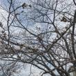 桜の花見ならぬ蕾見