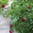 紅姫、スピノシッシマ、オルラヤの小道