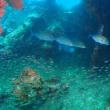前にサメ、後ろにゴマモンガラ