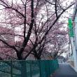 今日の桜 20190215