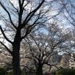 今年の桜 鴨川