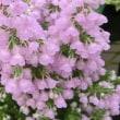 シャミソニスの花は