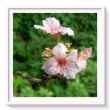 秋桜・・・秋、サクラの花びら