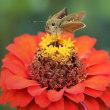 セセリ蝶✖百日草